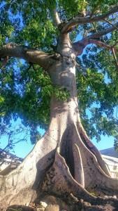 Bahamas Baum-s